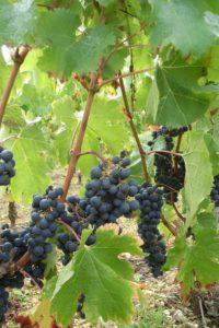 Pique Russe Grapes